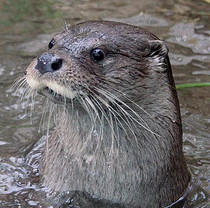European otters from Feldman Ecopark adapt successfully in Israel