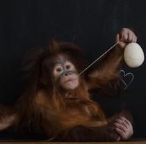 В Фельдман Экопарк появился малыш орангутана