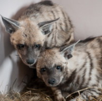 New residents in Feldman Ecopark – striped hyenas