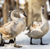 Swans rescued by Feldman Ecopark