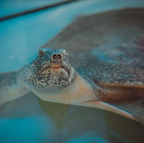 Unique turtles treating people found home in Feldman Ecopark