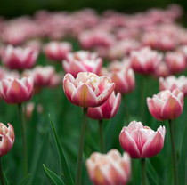 На Пасху в экопарке будут угощать куличами и удивлять фестивалем тюльпанов