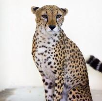 В Харьковском зоопарке поселится гепард Байрон