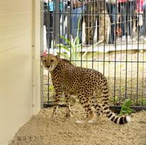 Для гепарда, переданного в Харьковский зоопарк, Фельдман Экопарк нашел подругу