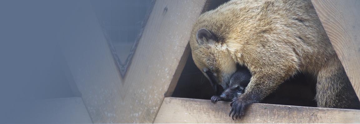 Сразу у двух мам-носух в Фельдман Экопарк родились детеныши
