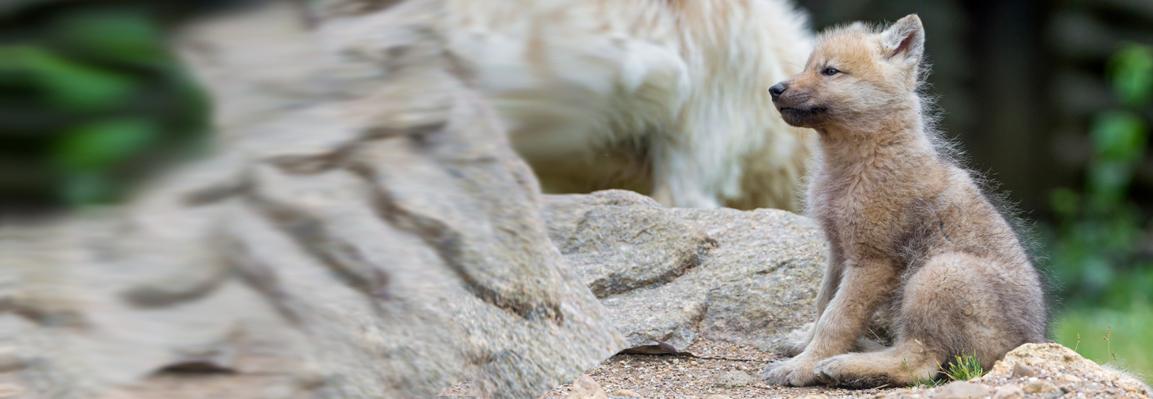 В Фельдман Экопарк родились полярные волчата