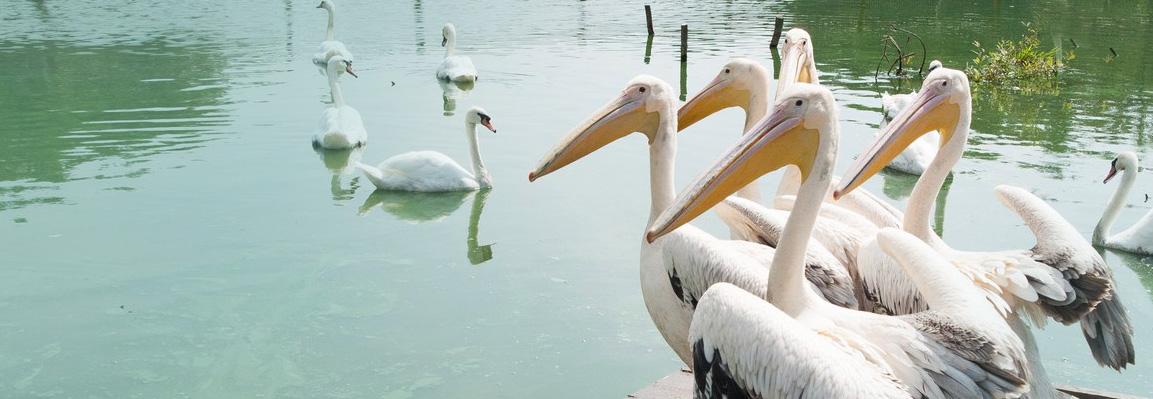 На Лебедином озере в Фельдман Экопарк поселились пеликаны