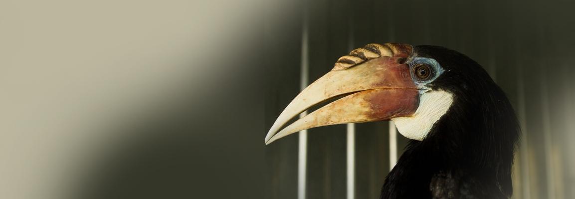 В Фельдман Экопарк поселились папуанские птицы-носороги