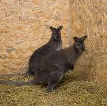 Осеннее пополнение Фельдман Экопарк: пара кенгуру Беннета и самец рыжего кенгуру