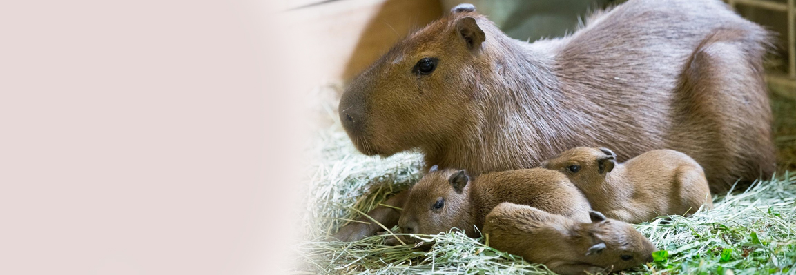 Capybaras were born in Feldman Eсopark