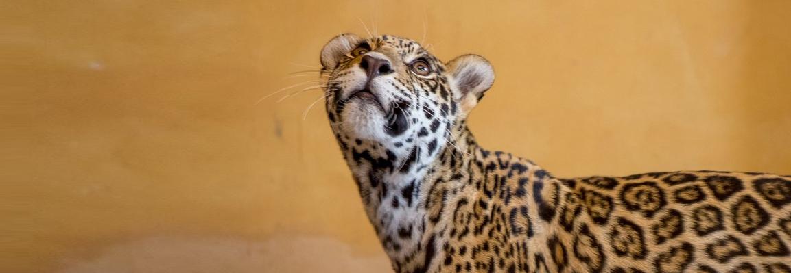 У Фельдман Екопарк оселилися плямисті ягуари