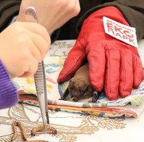 Centre for Chiroptera Rehabilitation Accepted First Big Groups of Rescued Bats This Winter