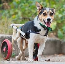 Tobik the Wheelchair Dog who Underwent Rehabilitation in Good Home Finds New Home