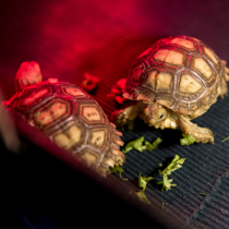 Unprecedented Increase in Feldman Ecopark's Collection – African Spurred Tortoises Hatched Out for the First Time