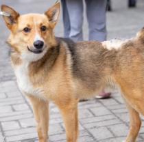 Tosha the Dog Underwent Rehabilitation in Feldman Ecopark Good Home Successfully and Walks Already