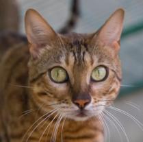 В Фельдман Экопарк приютили каракала и бенгальскую кошку