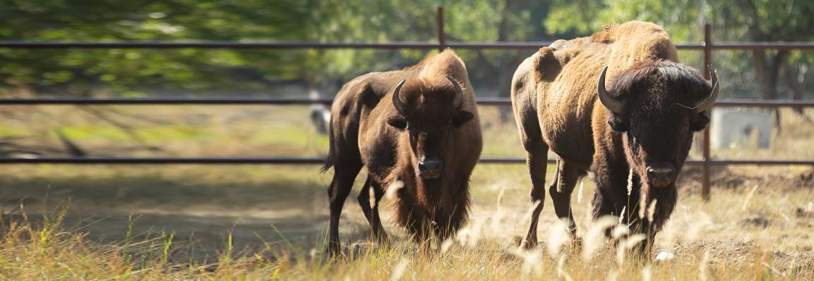 В Фельдман Экопарк поселились бизоны