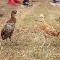 Фельдман Экопарк выпустил в природу более 100 фазанов
