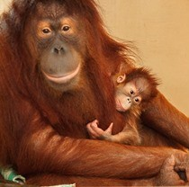 У Фельдман Екопарк уперше в Україні народився орангутан