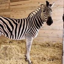 В Фельдман Экопарк привезли новую зебру