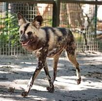В Фельдман Экопарк поселились гиеновидные собаки