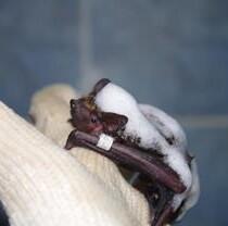 В Фельдман Экопарк проходят реабилитацию рукокрылые, спасенные из городских ловушек