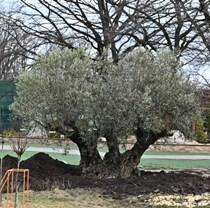 В Фельдман Экопарк высадили оливу – ровесницу Харькова